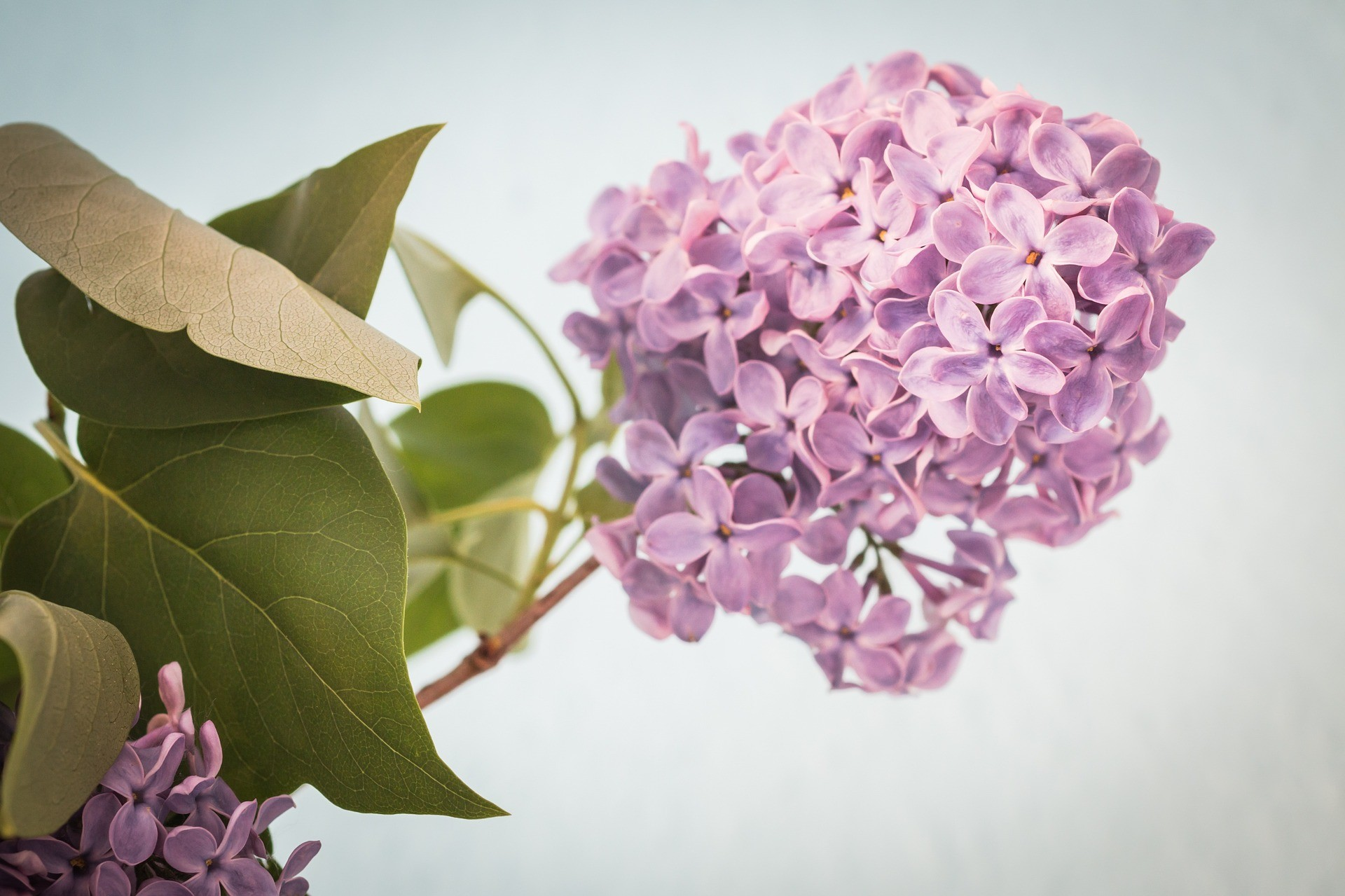 lilac-1392723_1920