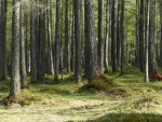 larch-forest-358057_640